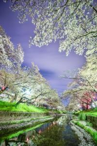 幻想的に光る夜桜と川